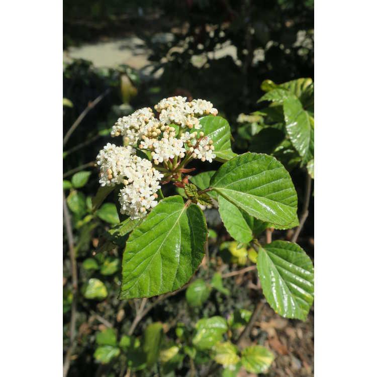 Viburnum japonicum 'Variegatum'