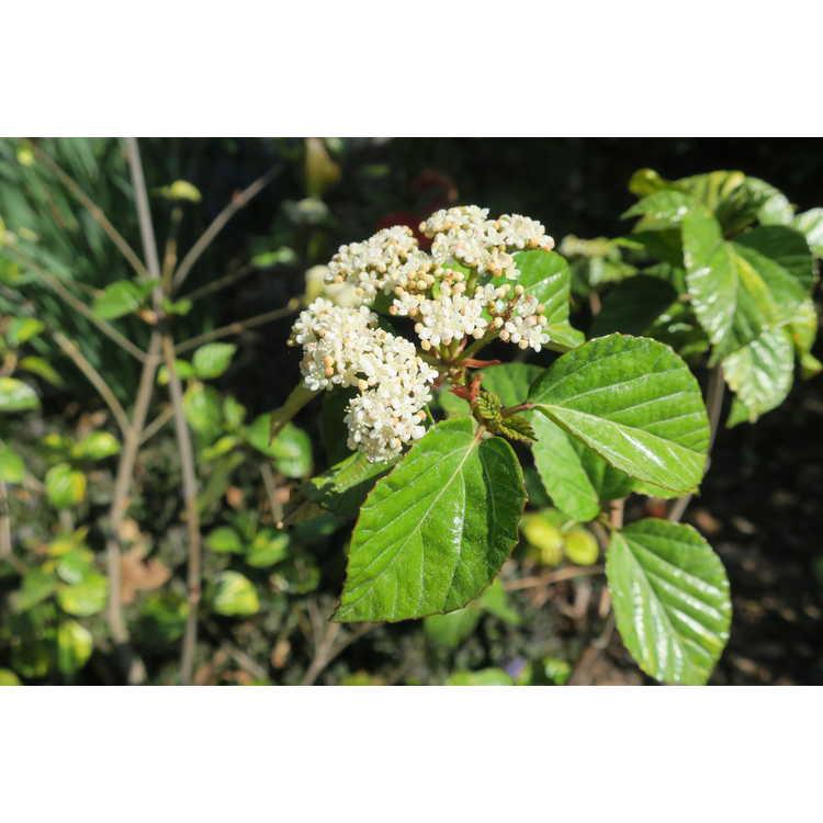 Viburnum japonicum Variegatum