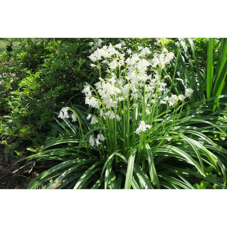 Hyacinthoides hispanica 'Alba'