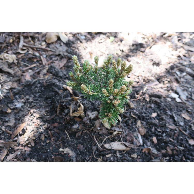 Pinus mugo 'Piggelmee'