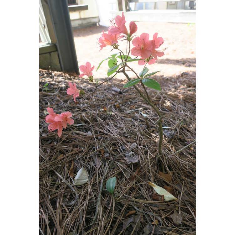 Rhododendron kaempferi Unryu