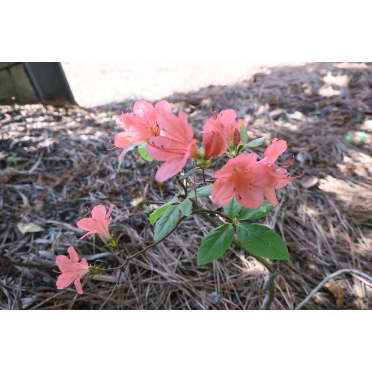 Rhododendron kaempferi 'Unryu' - contorted torch azalea