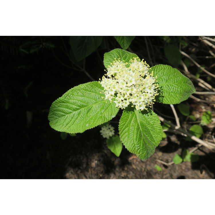 Viburnum corylifolium