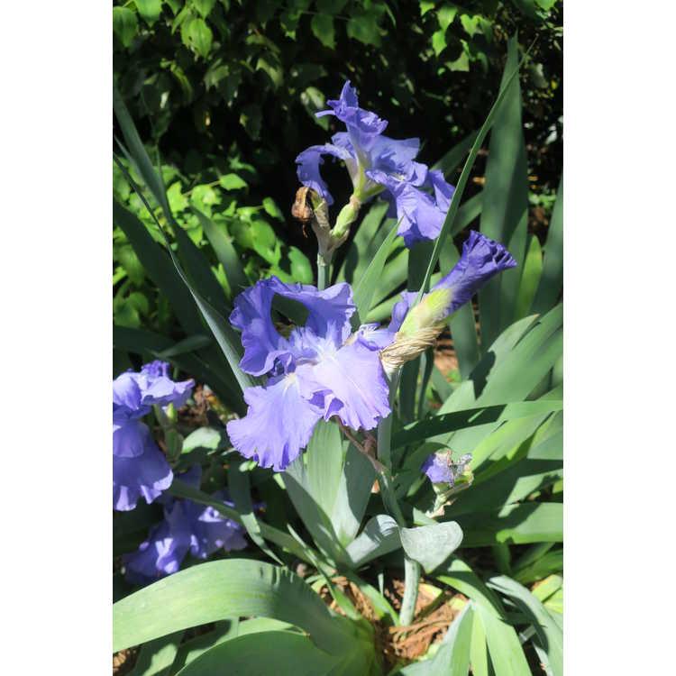 Iris 'Tenderly'