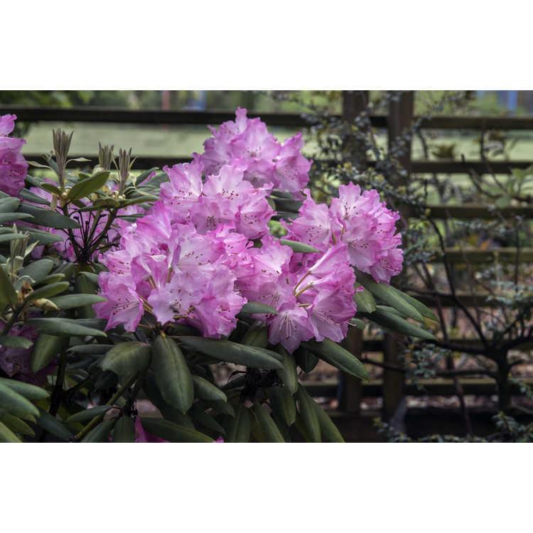 Rhododendron Brandi Michele Raley Southgate Brandi