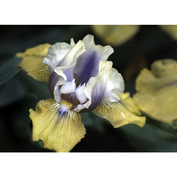 Iris 'Double Your Fun'