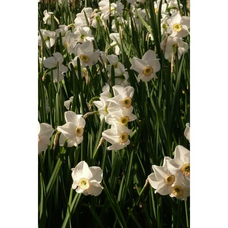 Narcissus 'Dreamlight' - small-cupped daffodil
