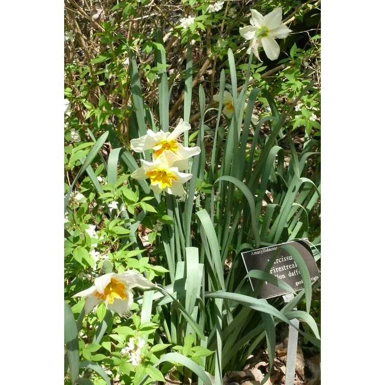 Narcissus 'Firestreak'
