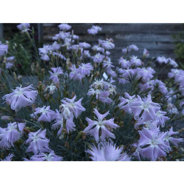 Dianthus tianschanicus - Tianshan carnation