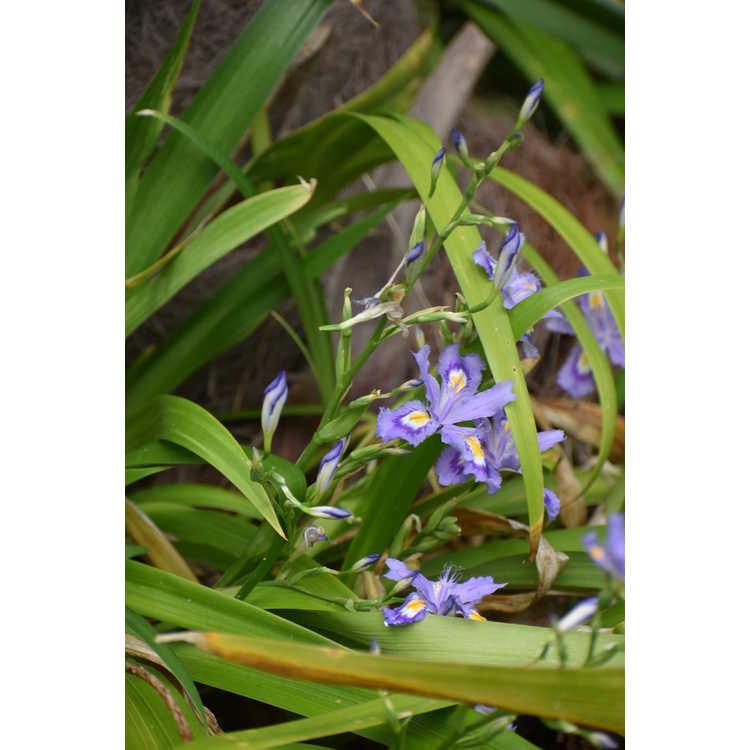 Iris japonica 'Skirt Chaser'