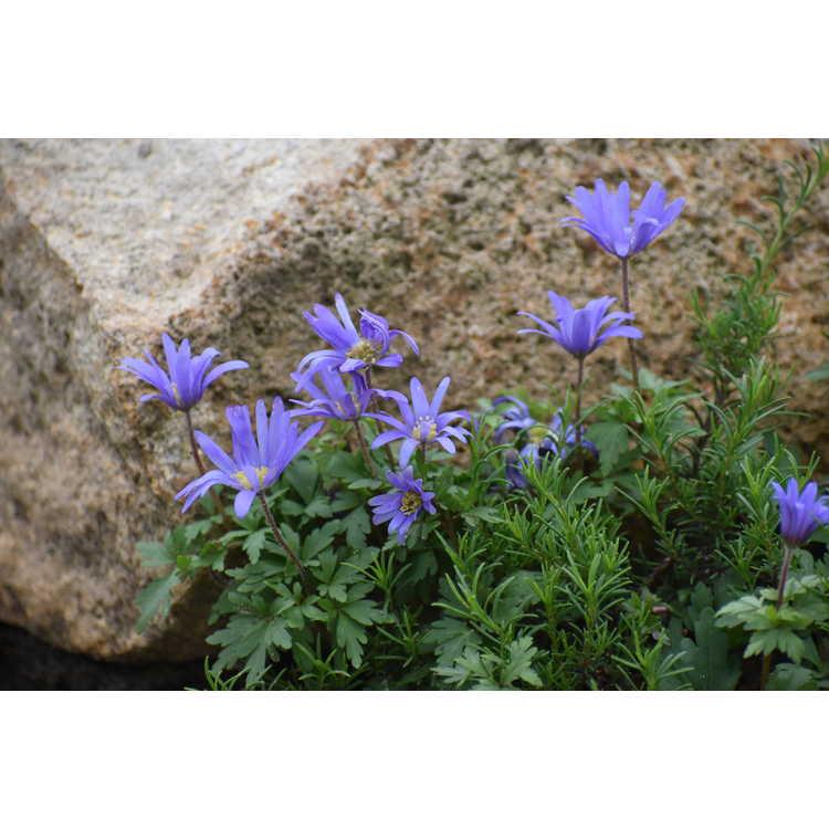 Anemone blanda 'Blue Shades' - windflower