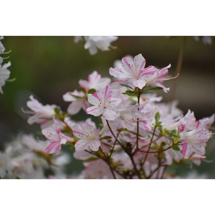 Rhododendron (Huang 1-3-16) - azalea