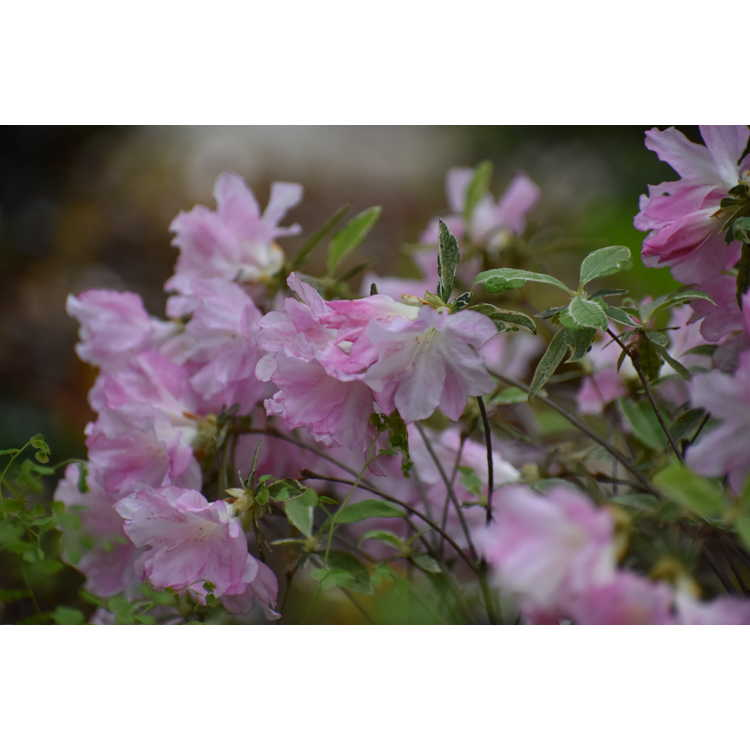 Rhododendron variegated pink