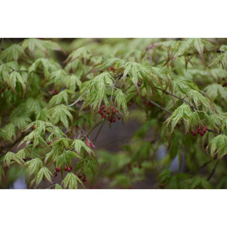Acer palmatum 'Peaches and Cream' - reticulated Japanese maple