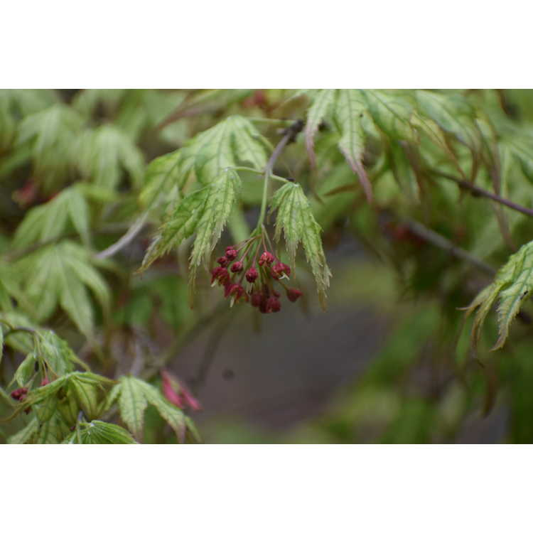Acer palmatum Peaches and Cream