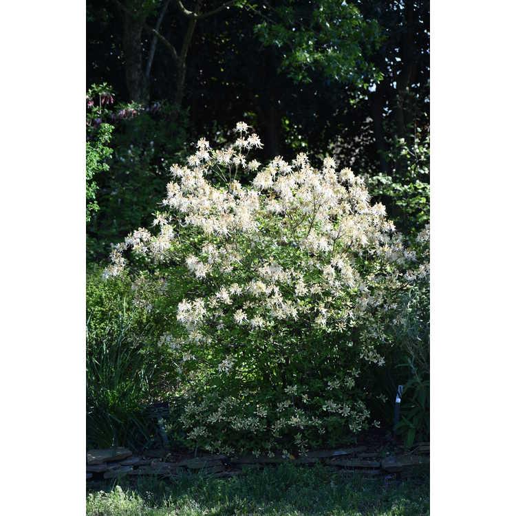 Rhododendron austrinum 'Alba' - white-flowered  Florida flame azalea