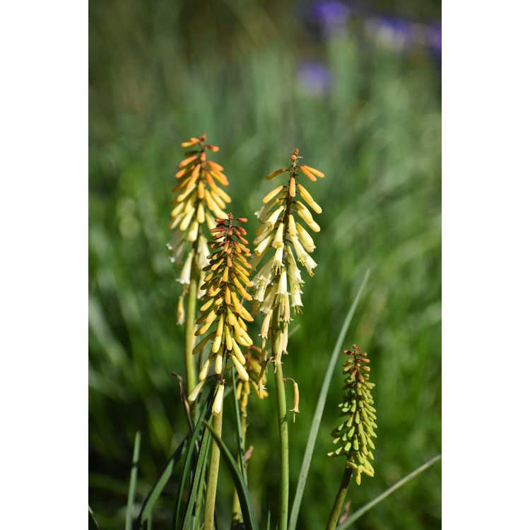 Kniphofia Nose Job