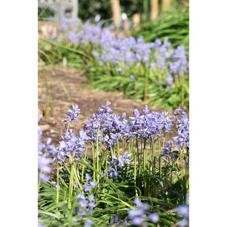 Hyacinthoides hispanica City of Haarlem