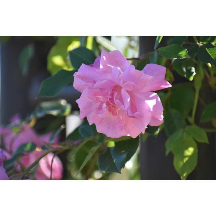 Rosa Climbing Old Blush