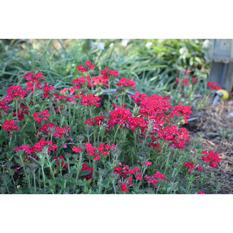 Verbena (red)