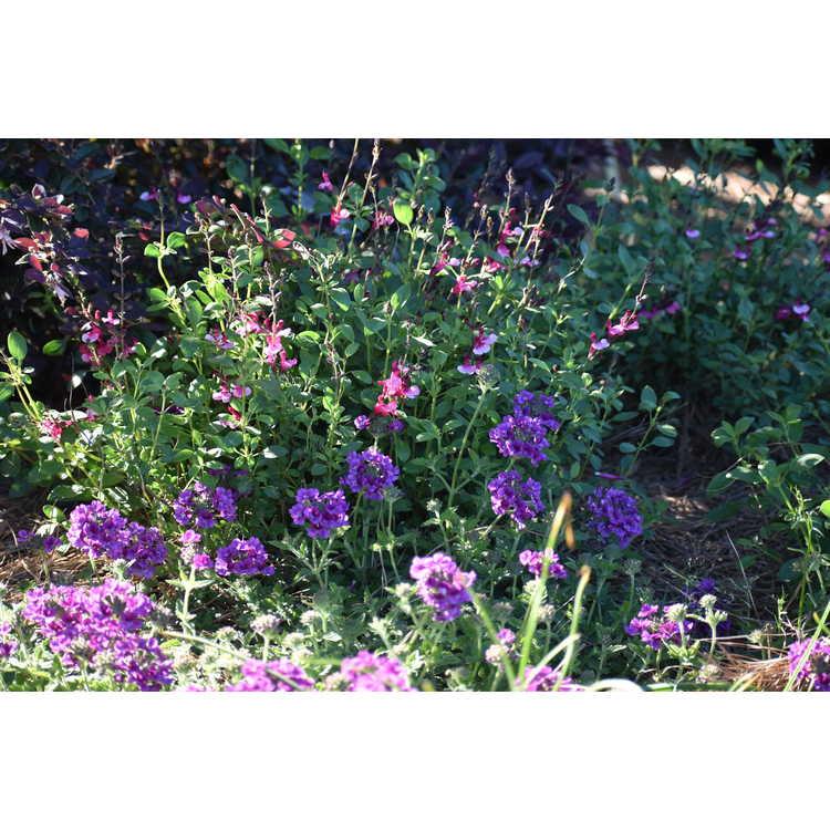 Salvia Holy Queen