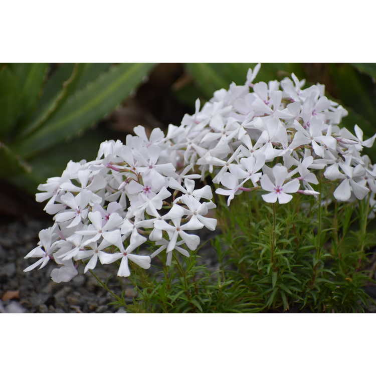 Phlox nivalis near white