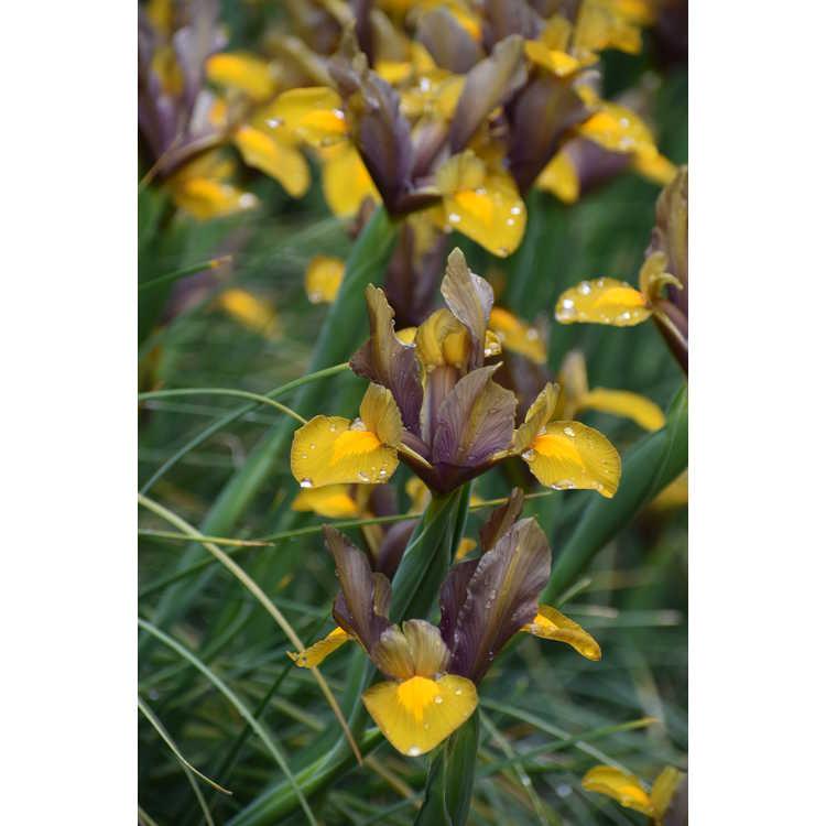 Iris 'Bronze Beauty'