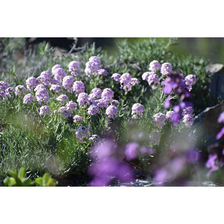Aethionema armenum
