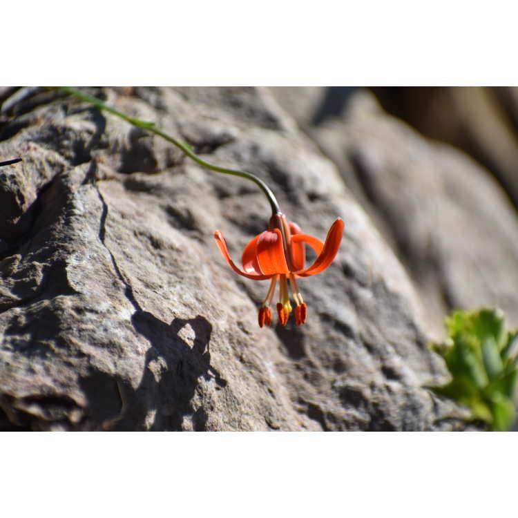 Lilium callosum