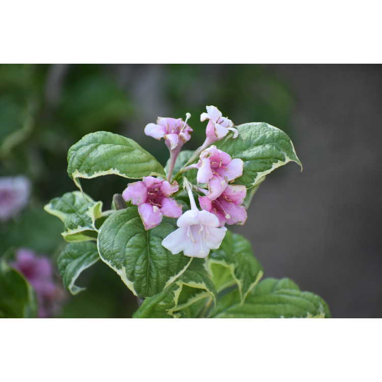 Weigela florida Caricature