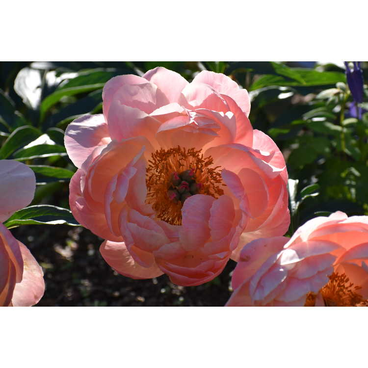 Paeonia Coral N Gold