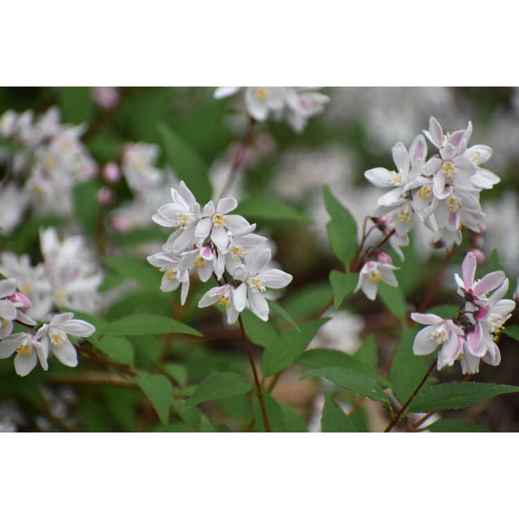 Deutzia Nikko Blush