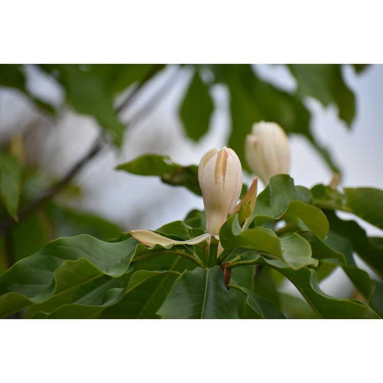 Magnolia 'Silk Road' × M. insignis