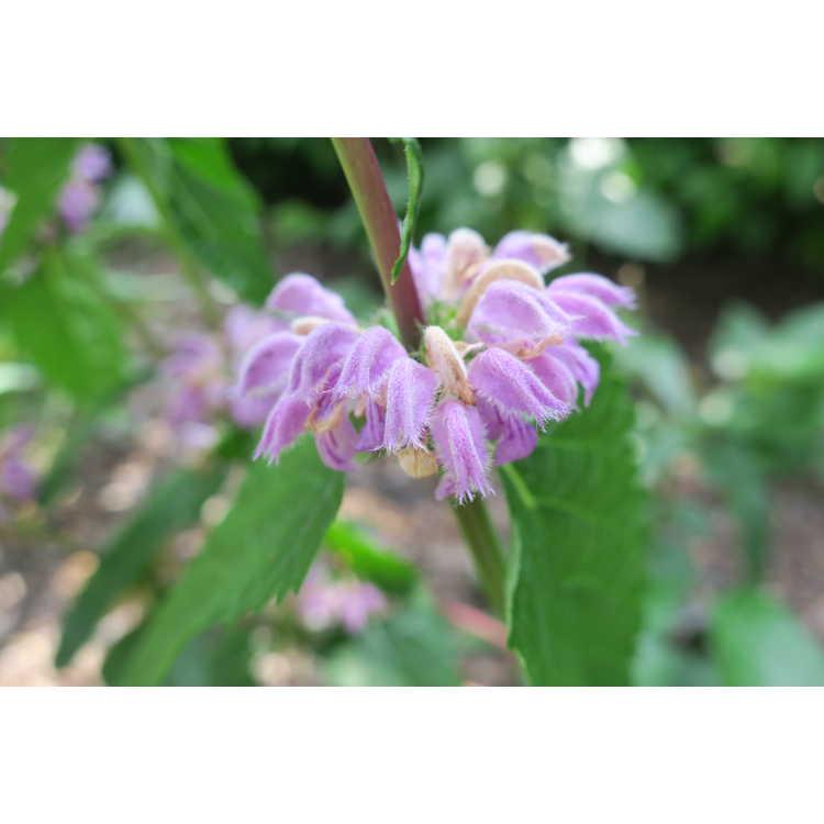 Phlomoides pratensis