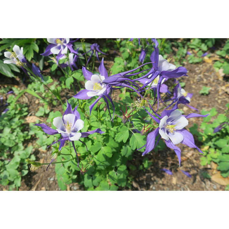 Aquilegia caerulea - Kirigami Deep Blue & White Rocky Mountain columbine