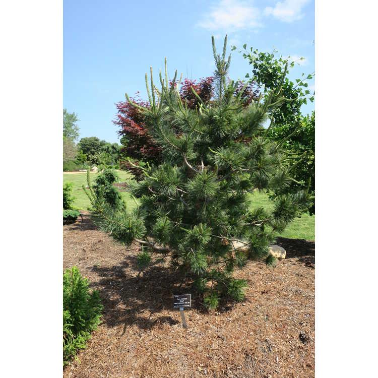 Pinus strobiformis 'Foxtail'