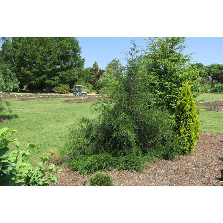 Juniperus virginiana (mounding form)