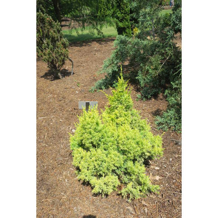 Juniperus chinensis 'Maymont Gold'