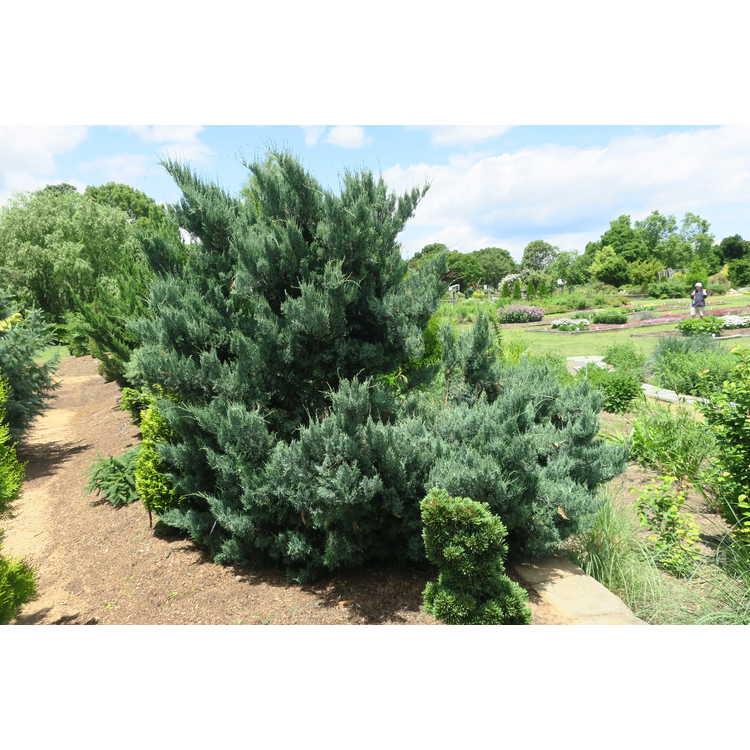 Juniperus virginiana 'Glauca Compacta' - compact blue eastern redcedar