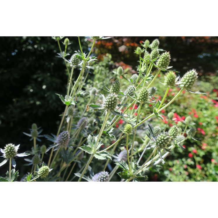 Eryngium alpinum - blue star