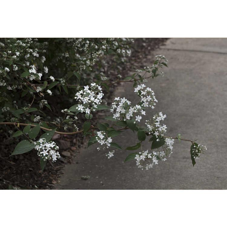 Deutzia setchuenensis var. corymbiflora - Sichuan deutzia