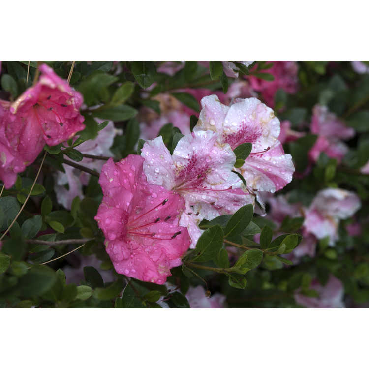 Rhododendron Conversation Piece witchs broom