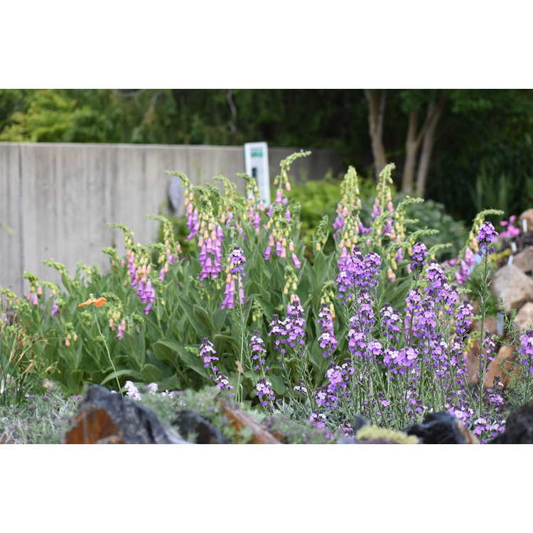 Erysimum linifolium Bowles Mauve