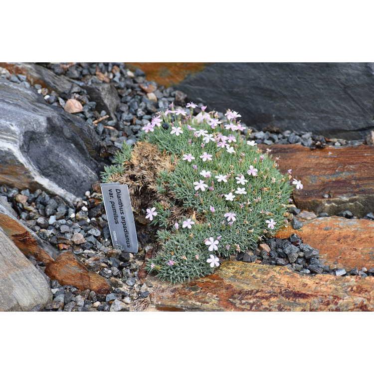Dianthus arpadianus pumilus