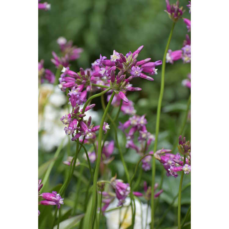 Dichelostemma congestum 'Pink Diamond' - fork-toothed ookow