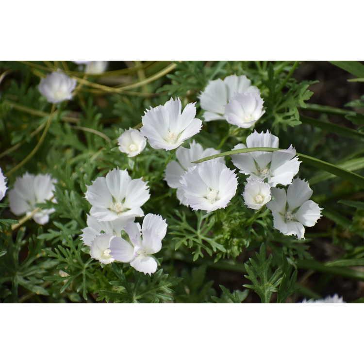 Callirhoe alcaeoides 'Logan Calhoun' - light poppy-mallow