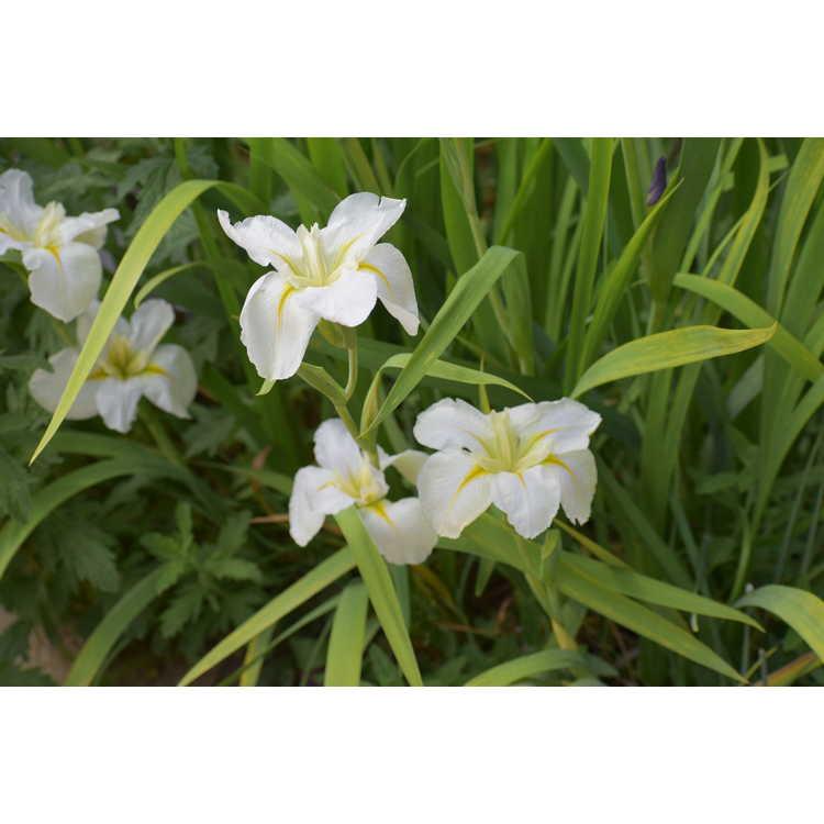 Iris Cest Magnifique
