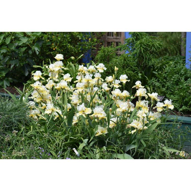 Iris 'Melted Butter' - tall bearded iris