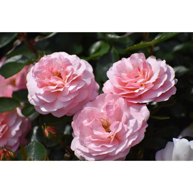 Rosa 'Baiypso'