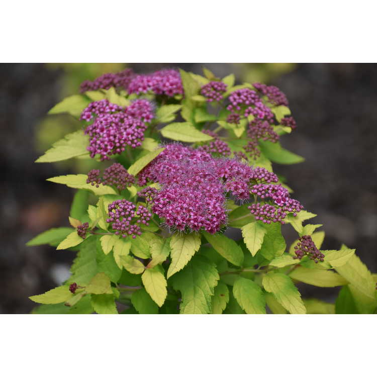 Spiraea japonica Ncsx1 Double Play Candy Corn